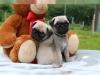 Sizin için muhteşem pug köpek yavrusu