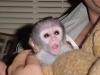 Sladké dítě kapucínská opice pro nový domov