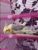 Sultan papağanı 8 aylık yavru erkek