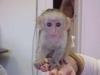 T-yeniden homing için beyaz yüz bebek capuchin maymunları...