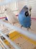 Takım yavru alınmış jumbo muhabbet kuşu