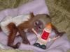 Tatli süper sosyal capuchin maymunlar