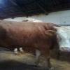 türkyenin hayvan pazarı büyük baş canlıhayvan temini