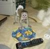 Vysoce kvalitní opice kapucínů pro opětovné navrácení