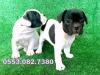 Yavru fransız bulldog köpeklerimiz