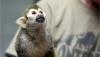 Yeni ev için büyüleyici ve eğitimli capuchin maymunları