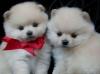 Yeni yavrularımız beyaz pomeranian boo