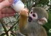 Yeniden homing için lazımlık eğitimli örümcek maymunlar bebe