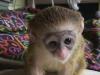 Zdarma kapucínská opice pro milující domov