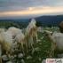 1 aylık oğlaklı satılık saanen keçiler