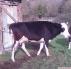 1 tane sağlı inek
