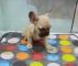 A kalite french bulldog yavrusu arayanlar