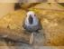 Afrika grey parrotları