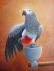 Afrika gri papağanlarını konuşmak, şarkı söylemek ve dans et