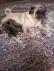 Anne altından pug mops yavruları