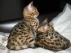 Bengal yavru kedi evlat edinmek için