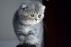Çok tatlı scottish fold bebekler
