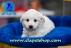 Dünya tatlısı cavalier, terrier, pug ve golden yavrularımız