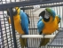 Güzel altın ve mavi macaw