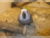 Her ikisi de dna afrika gri papağanlar yeniden plan yapmak i