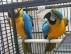 Iki el, kabul için mavi ve altın makarna papağanlar yetiştir