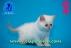 Kalıcı mavi gözlü exotic shorthair yavrumuz...