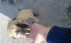Kangal-golden kırması  dost