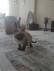 Kırık kuyruk safkan dişi siyam yavru