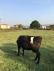 Satılık 3 yaşında 2 doğurum kurbanlık kısır inek