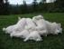 Satılık safkan samoyed yavrular sakarya
