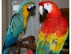 Talk�ng parrots and cage ava�lable