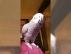 Timneh african grey parrot satılık uygun