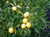 Online limon fidanı satışı
