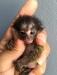 Parmak maymun sahiplendirme