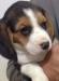 Sat�l�k safkan beagle yavrular�